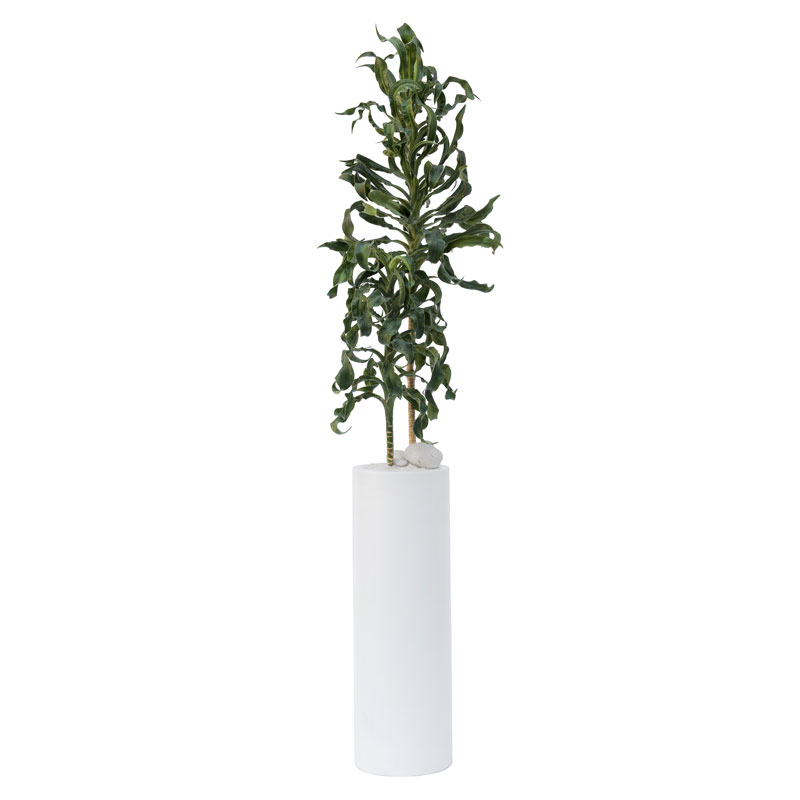 Milano Tube Large White – Dracaena deremensis 'Torch' (Dracaena Torch)