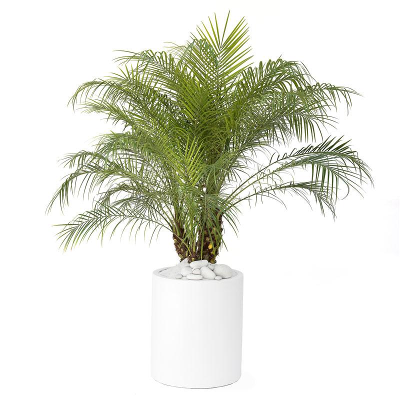 Milano Cylinder Small White – Phoenix roebelenii (Pygmy Date Palm)