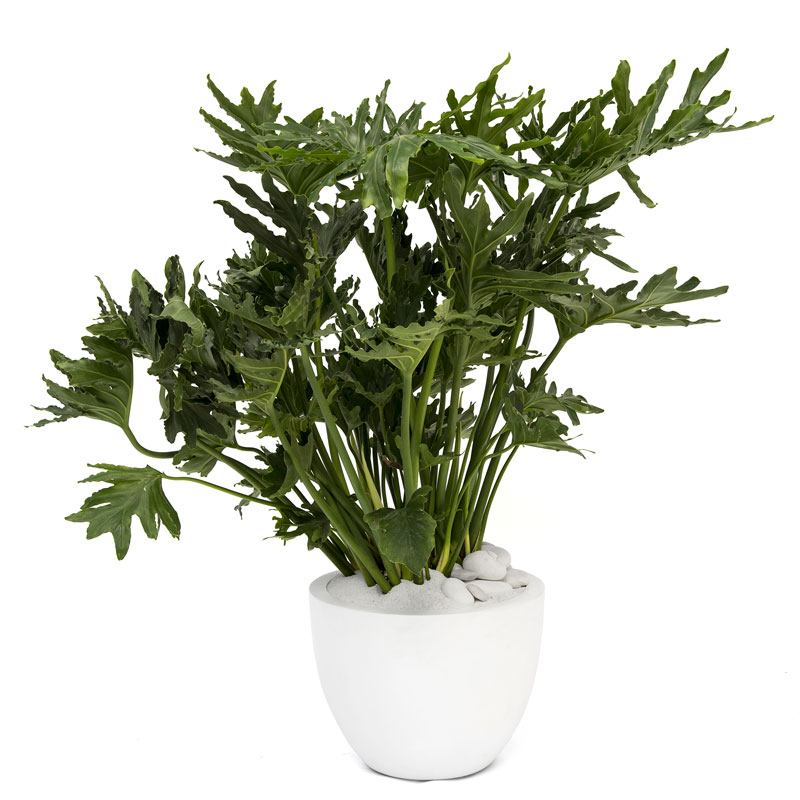Milano Round Large White – Philodendron selloum (Philodendron Hope)