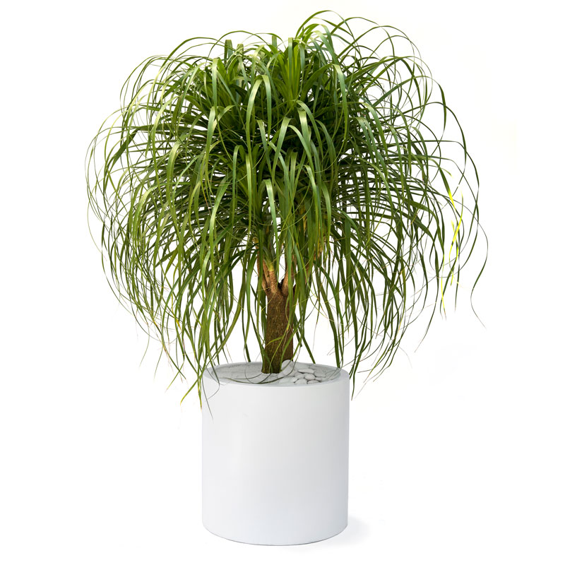 Milano Cylinder Large White – Ponytail Palm