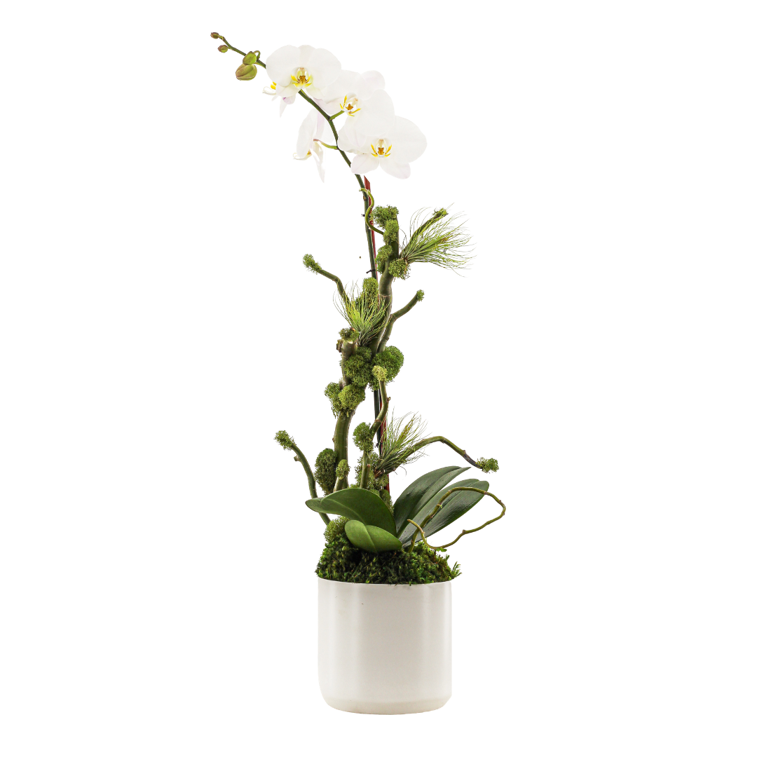"Germany Round Small White - Single Phalaenopsis Orchid (30"" H x 7"" D)"