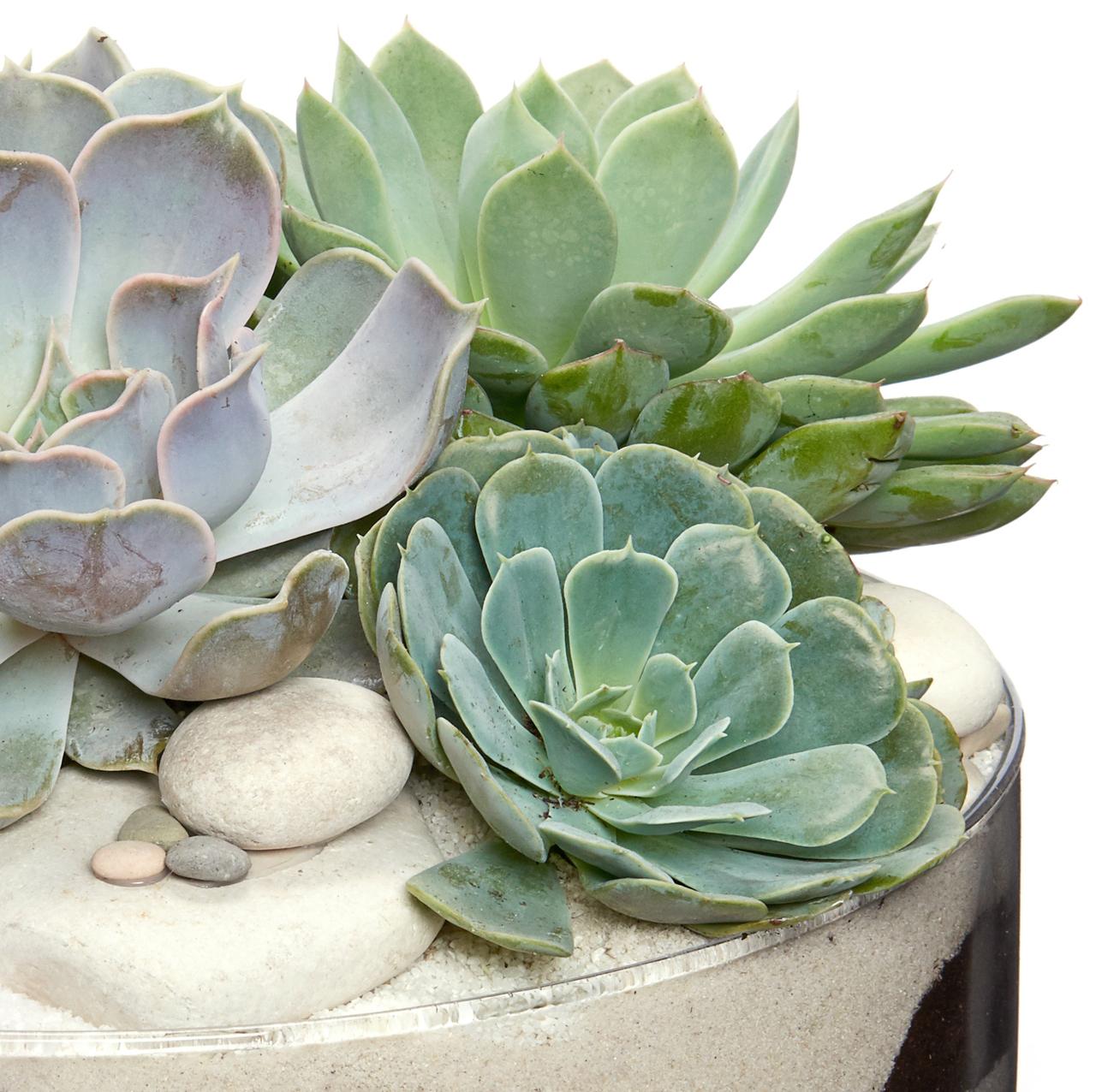 Clear Dish Medium - Succulent