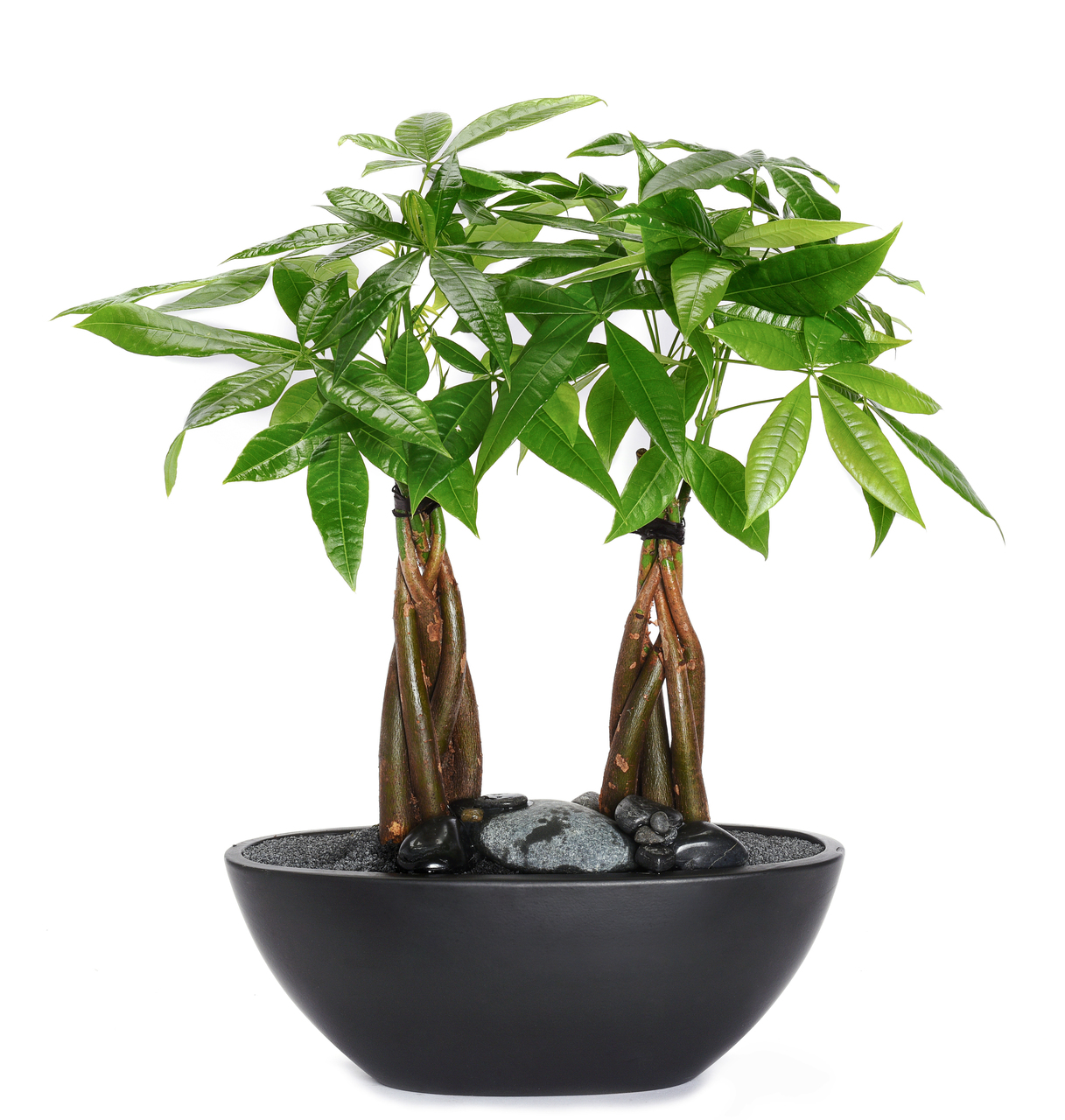 "Germany Boat Small Black - Double Money Tree (12"" H x 11.75"" W)"