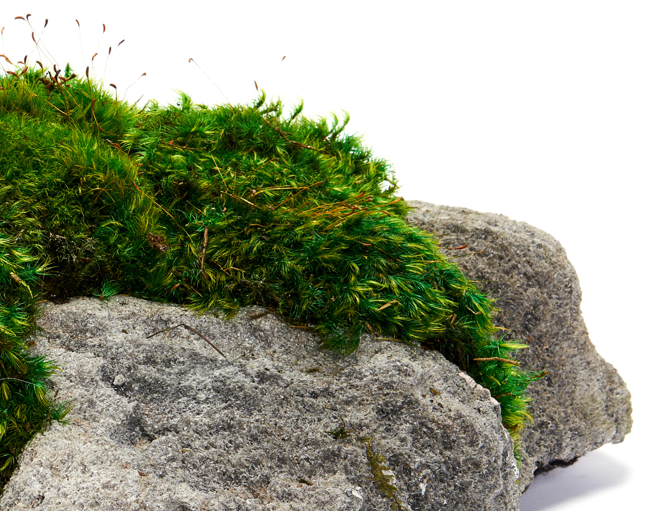 Feather Rock - Moss