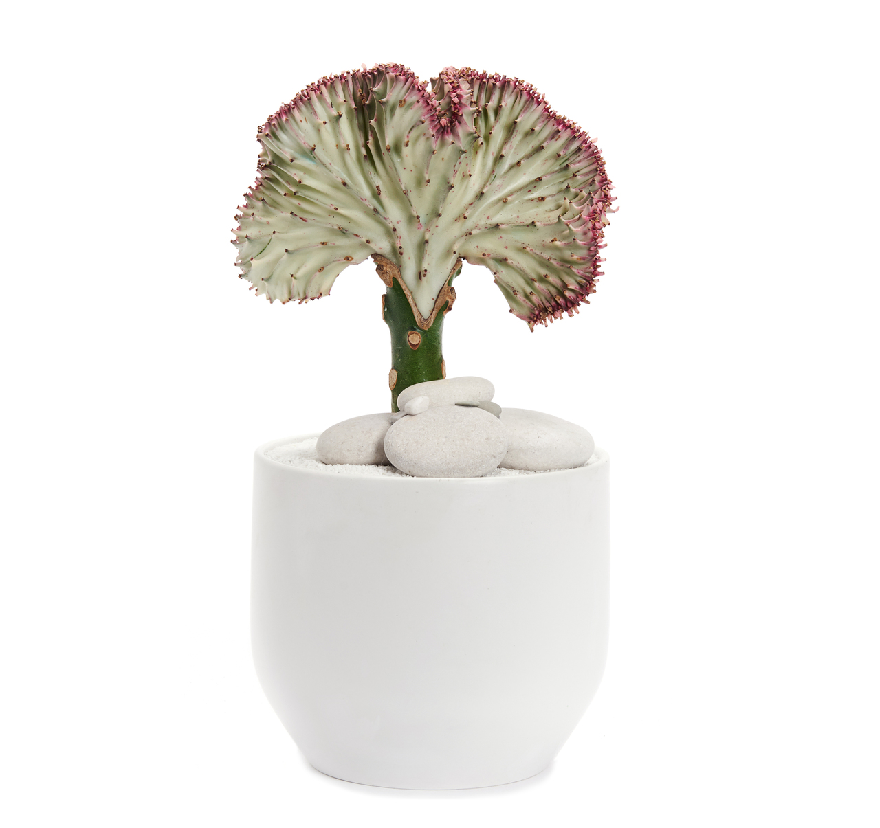 Germany Round Small White - Coral Cactus