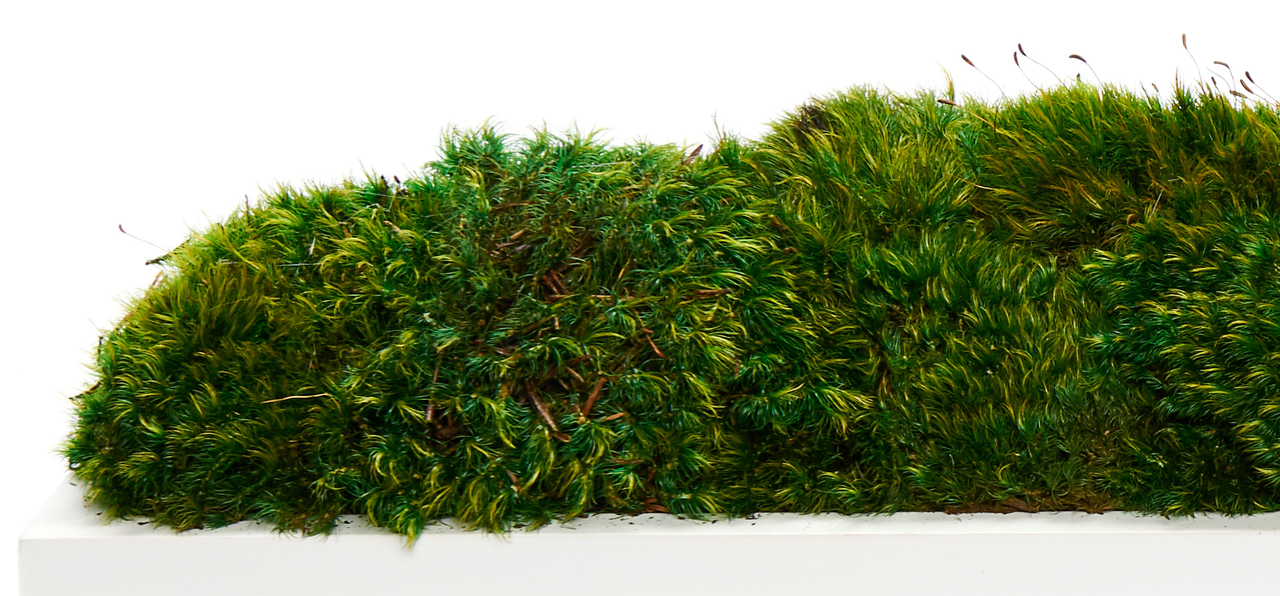 "White Wood Trough 36"" - Moss"