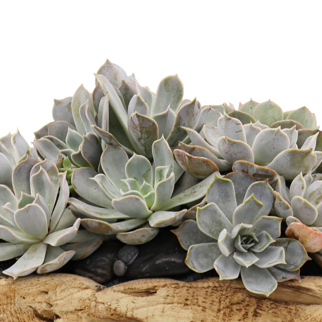 """Natural Wood Bowl with Succulents (Small - 7""""H)"""