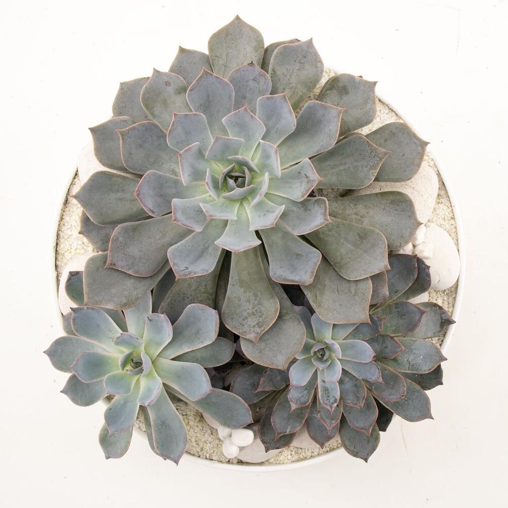 """Tokyo Bowl - Succulents (Medium - 9.75"""")"""