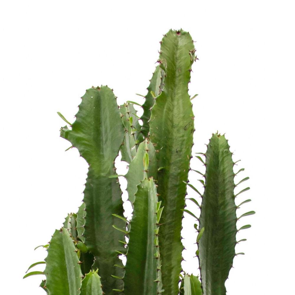 """Tulum Planter –  Desert Candle Cactus (Large - 45""""H)"""