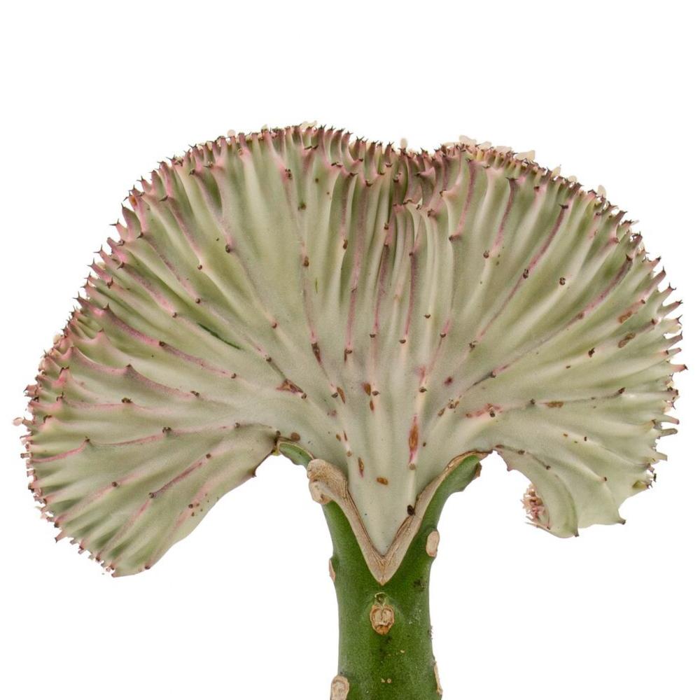 """Tokyo Bowl - Coral Cactus (10""""H)"""