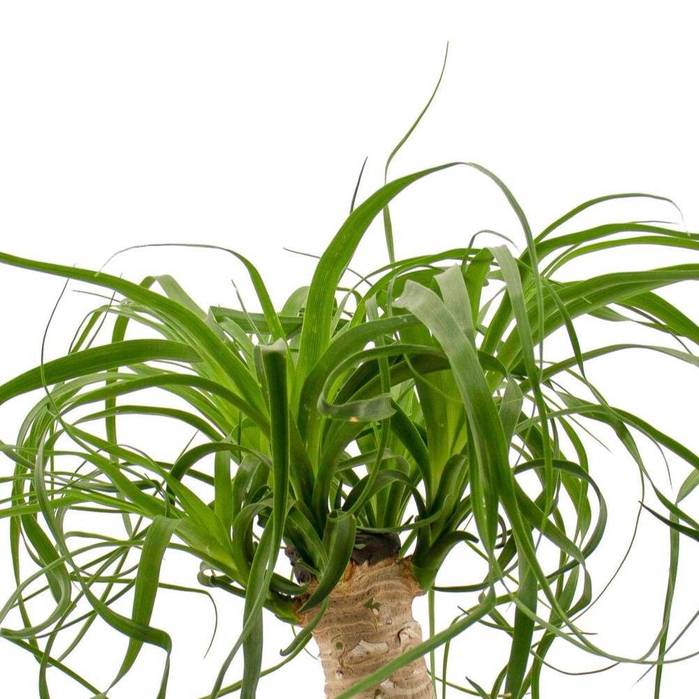 "Tokyo Bowl - Ponytail Palm (Small - 8"")"