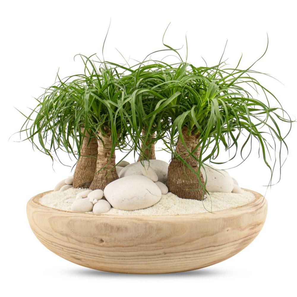 "Tulum Bowl - Ponytail Palms (Large - 18"")"