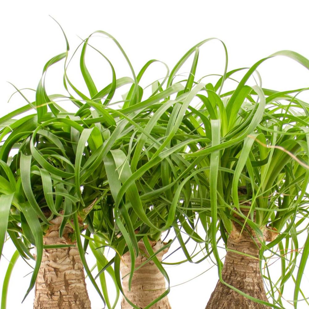 """Tulum Bowl - Ponytail Palms (Small - 9.5"""")"""