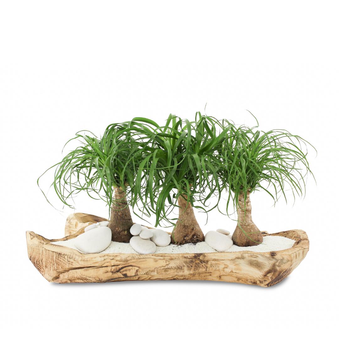 "Natural Wood Trough - Ponytail Palms (Large - 24"")"