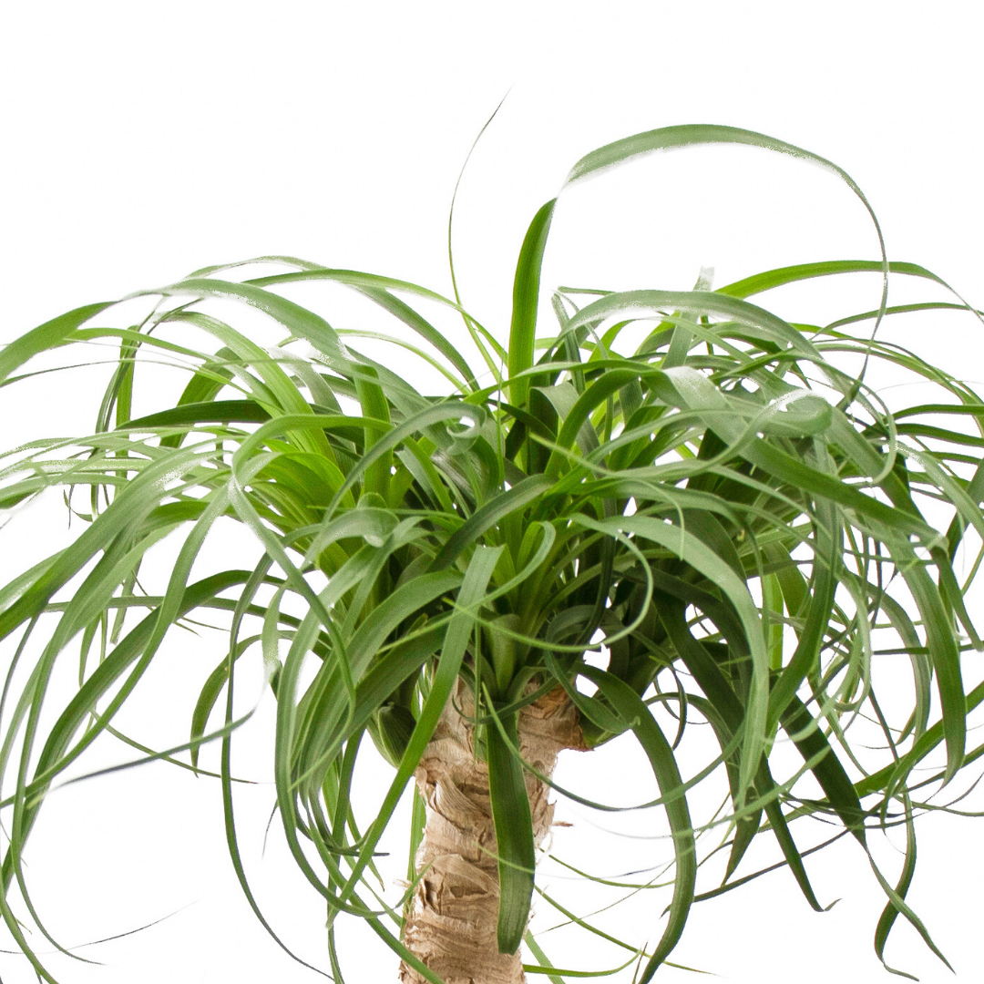 """Natural Wood Trough Small - Ponytail Palms (14"""" H x 16"""" W)"""