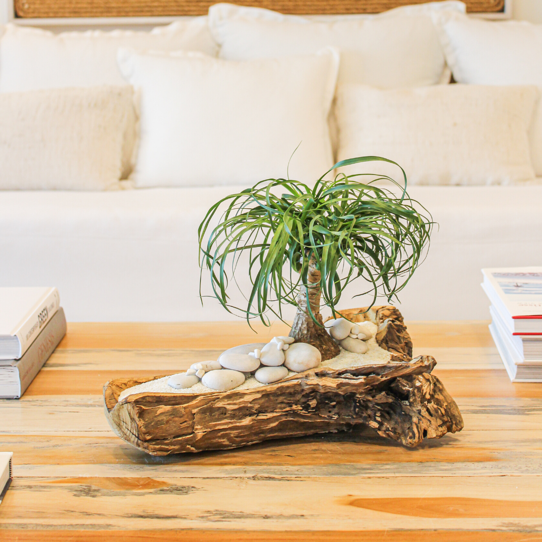 """Natural Wood Trough - Ponytail Palms (Small - 16"""")"""