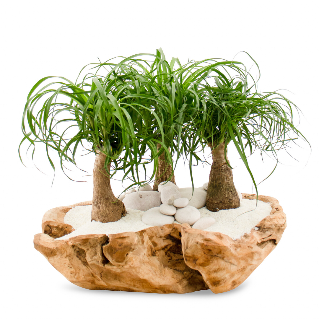 "Natural Wood Bowl - Ponytail Palms (Large - 18"")"