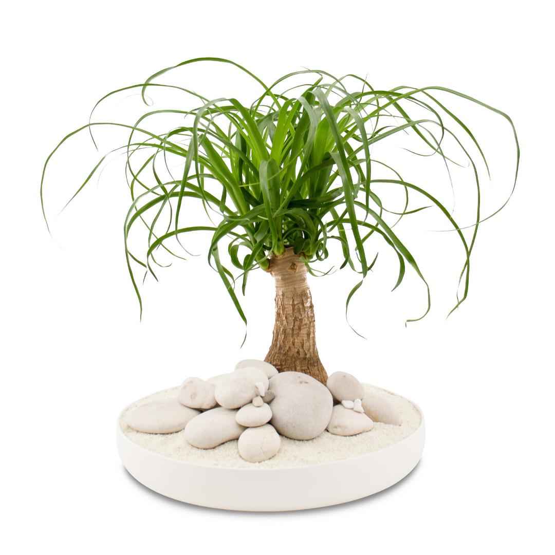"""Tokyo Bowl - Ponytail Palm (Large - 11"""")"""
