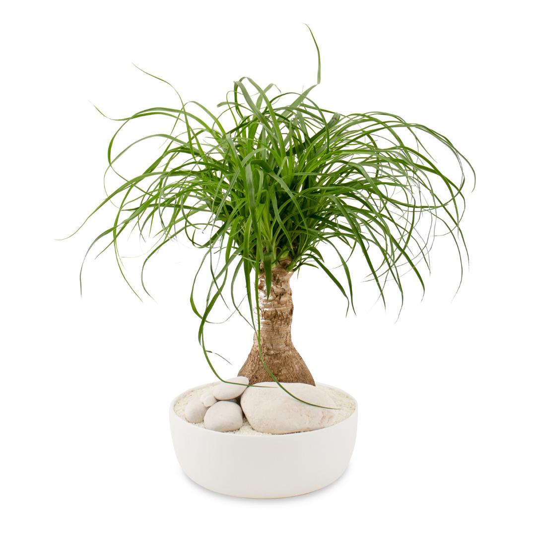 """Tokyo Bowl - Ponytail Palm (Mini- 6.5"""")"""