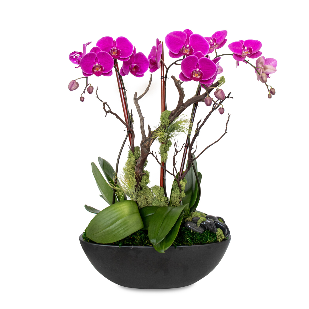 Germany Boat Large Black - Triple Phalaenopsis Orchid