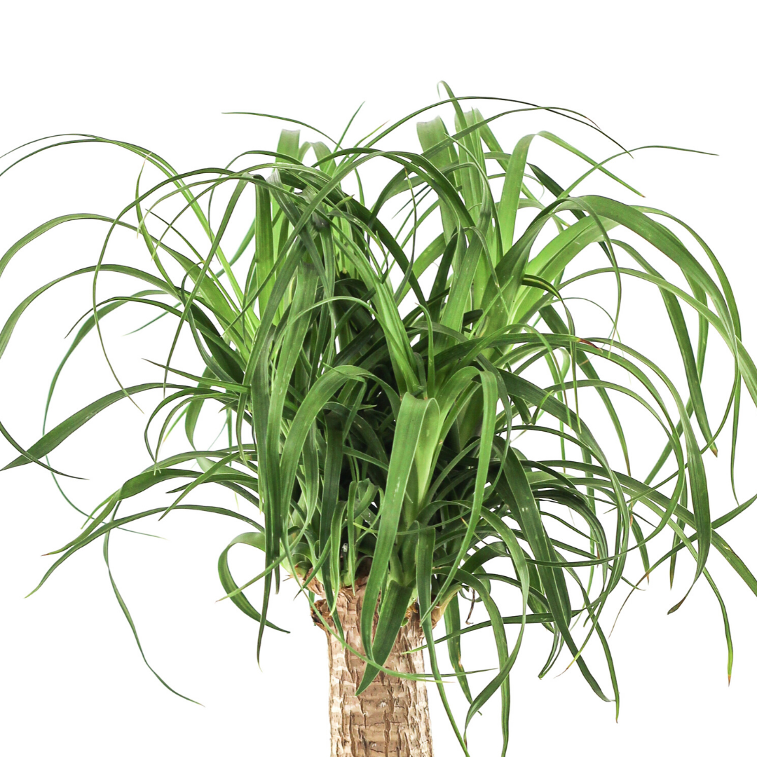 "Feather Rock Small - Ponytail Palm (12"" H x 8"" D)"