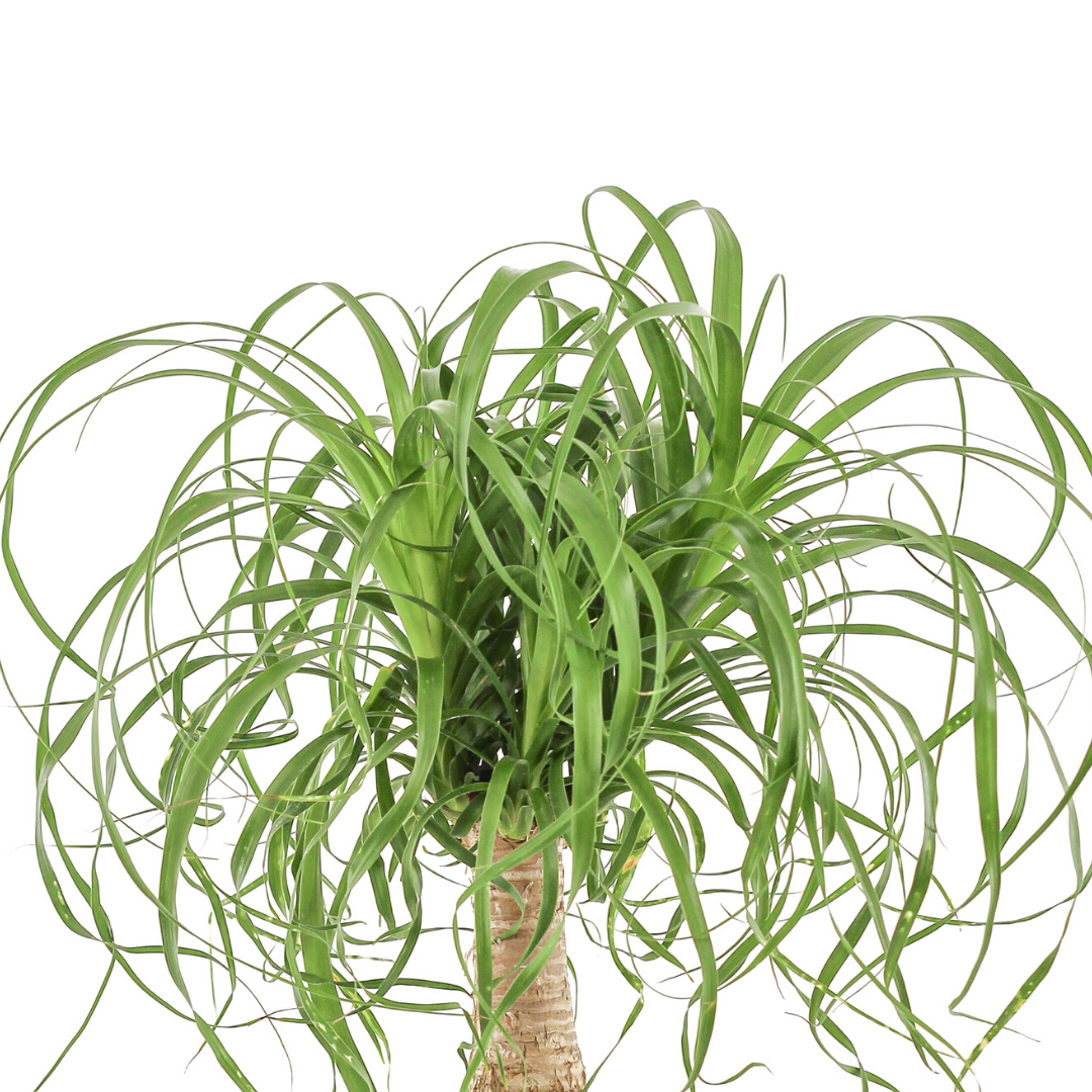 "Germany Round White Medium - Ponytail Palm (16"" H x 8"" D)"