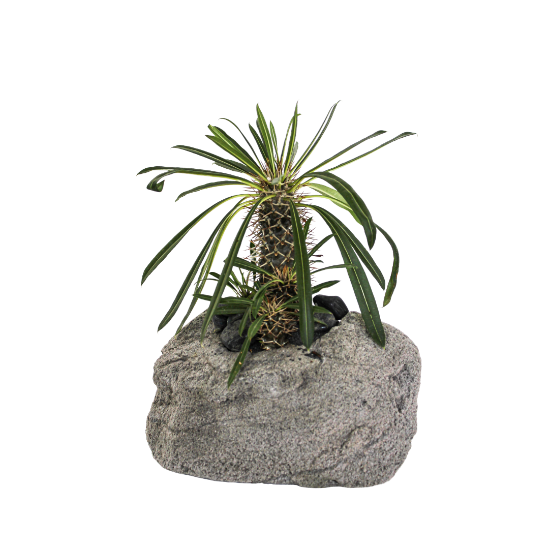 """Feather Rock Small - Madagascar Palms (10"""" H  x  9"""" D)"""