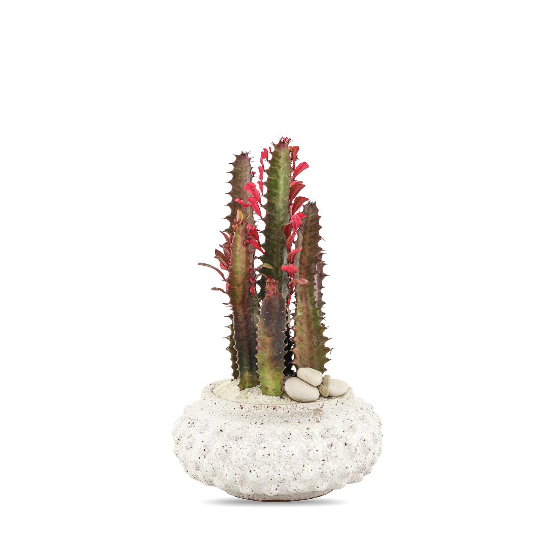 "Morocco Small - Euphorbia Trigona (14"" H x 6.5"" D)"