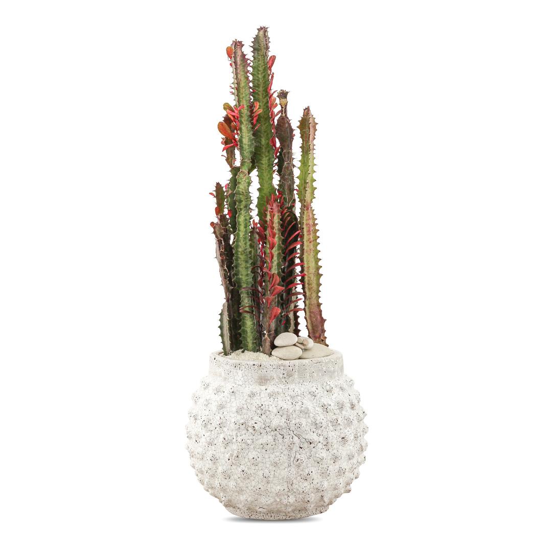"Morocco Large - Euphorbia Trigona (22"" H x 9"" D)"