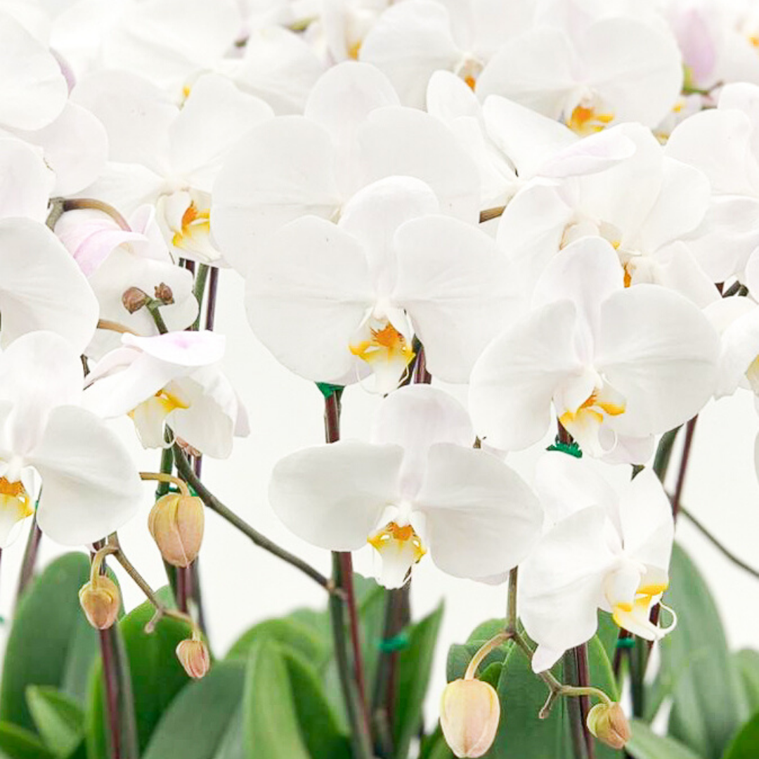 """Orchid Tray Large - 15 Phalaenopsis Orchids (24"""" H)"""