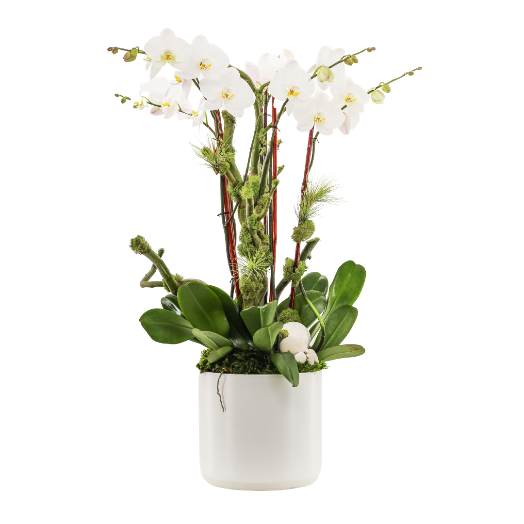 """Germany Round Large White -  Five Phalaenopsis Orchids (30"""" H x 8.5"""" D)"""
