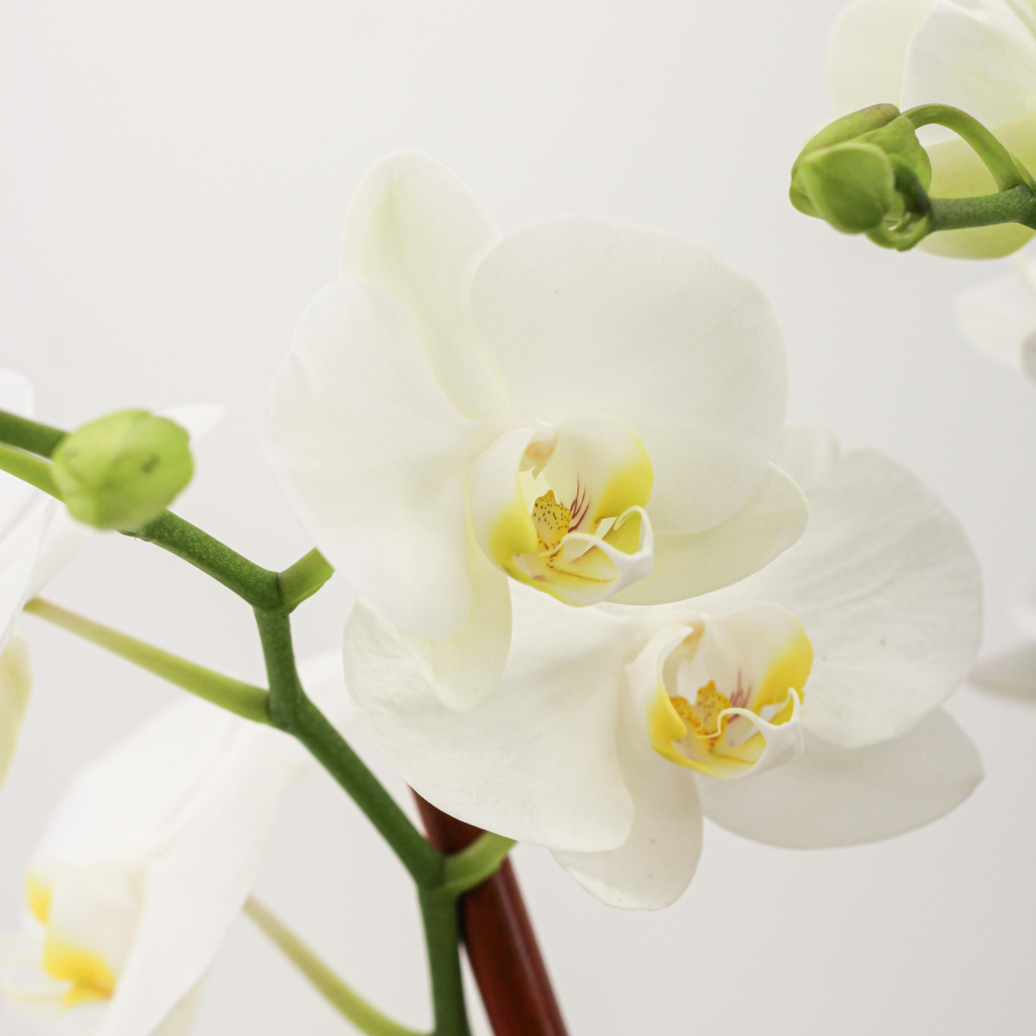 Germany Boat Large Black - Triple Mini Phalaenopsis Orchid