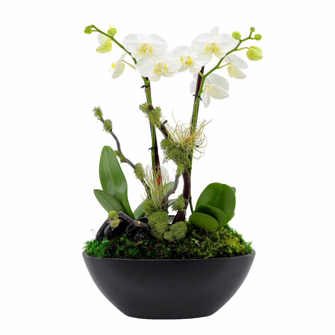 Germany Boat Small Black - Double Mini Phalaenopsis Orchid