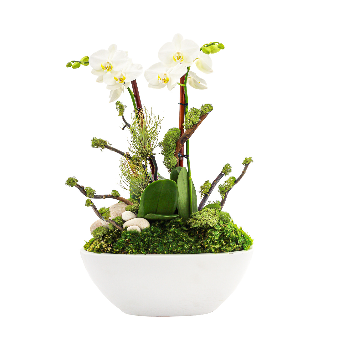 Germany Boat Small White- Double Mini Phalaenopsis Orchid