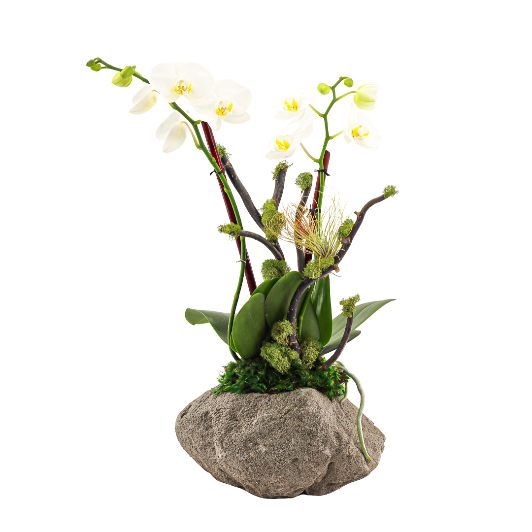 Feather Rock Small - Mini Phalaenopsis Orchids