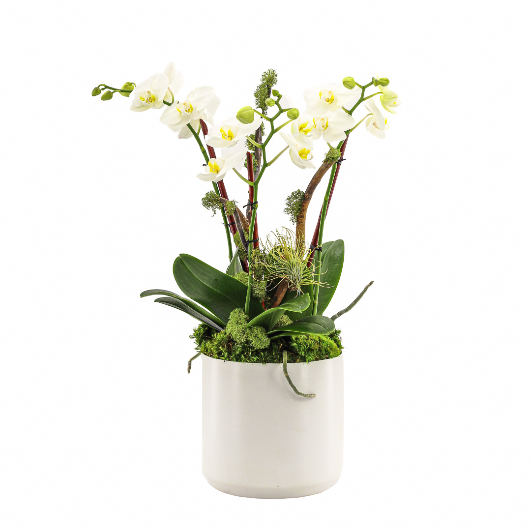 "Germany Round Large White -  Triple Mini Phalaenopsis Orchid (26"" H x 8.5"" D)"