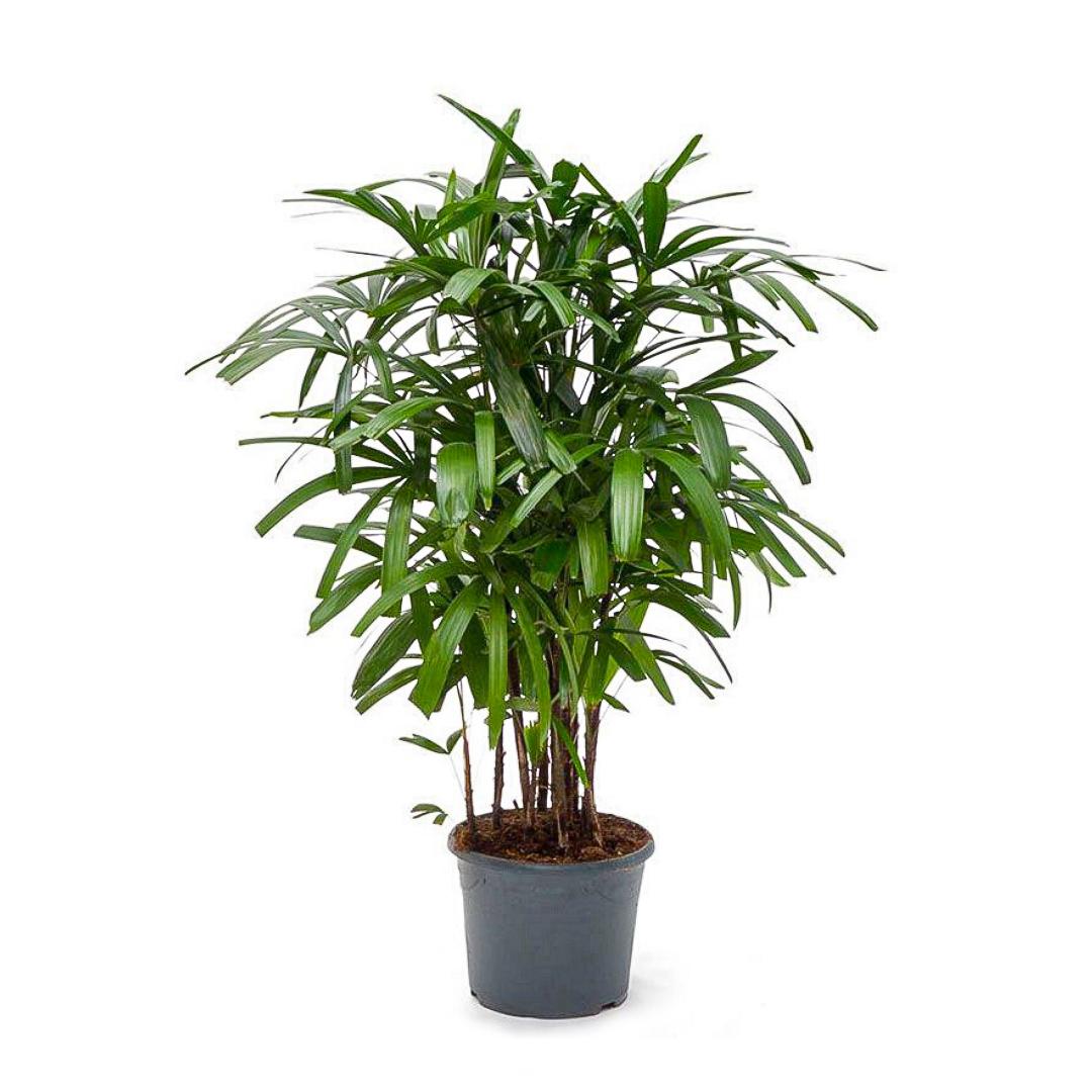 "Lady  Palm (7G / 14"")"