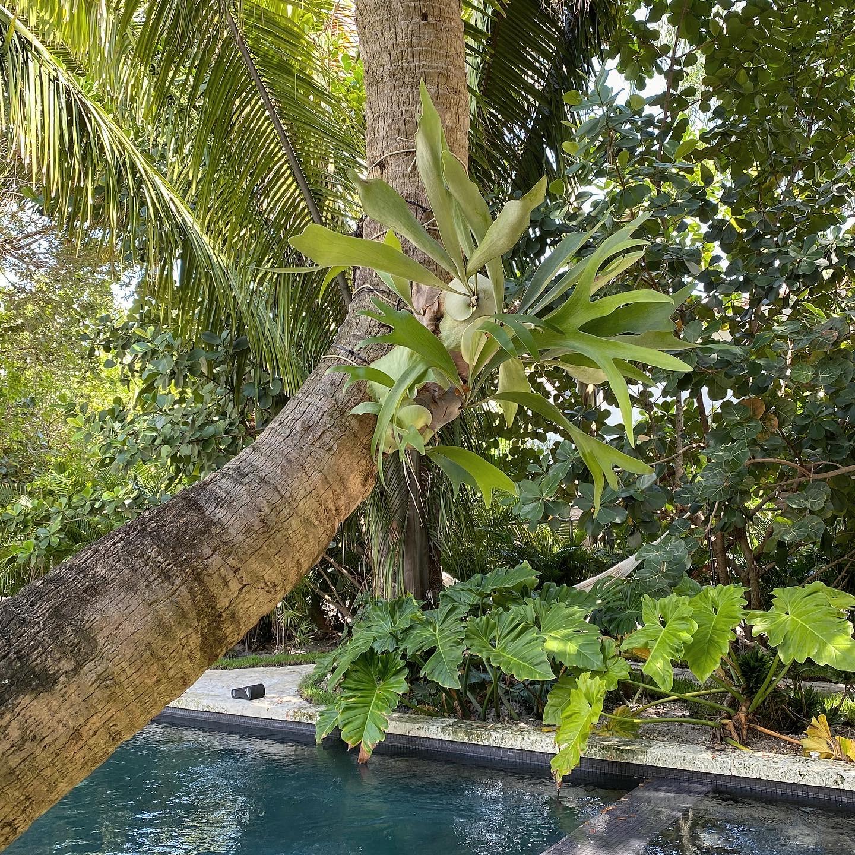 "Philodendron Giganteum ""Elephant Ear"" (7G / 14"")"