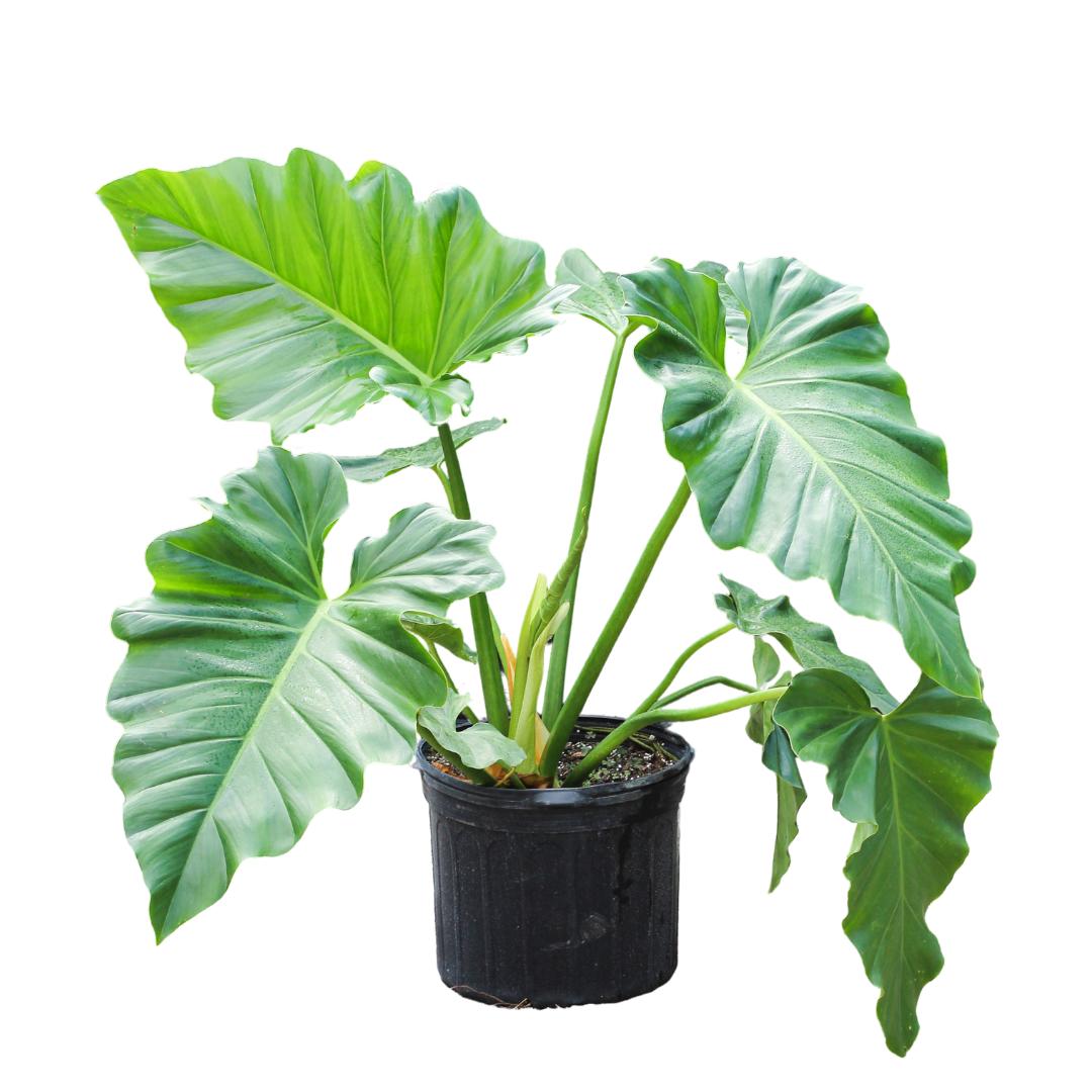 "Philodendron Giganteum ""Elephant Ear"" (15G / 17"")"