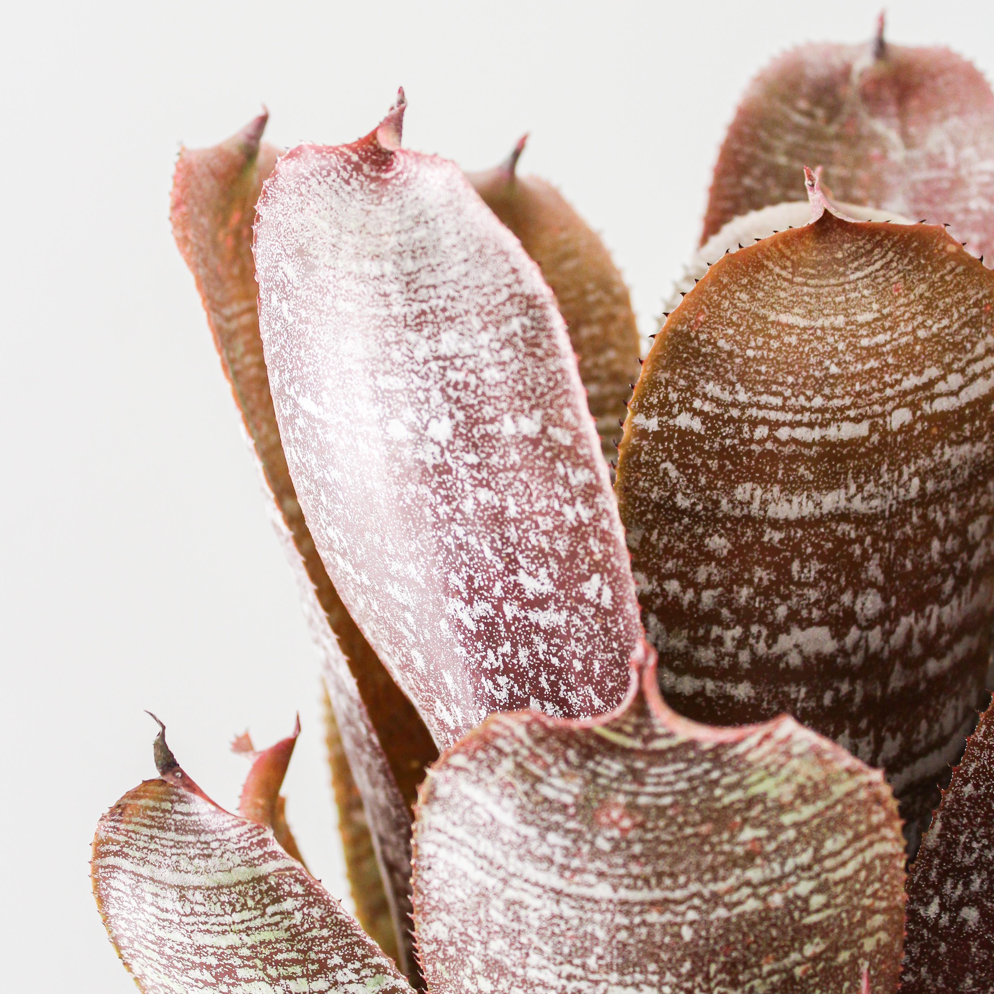"Hohenbergia Fudge Ripple (1G / 8"")"