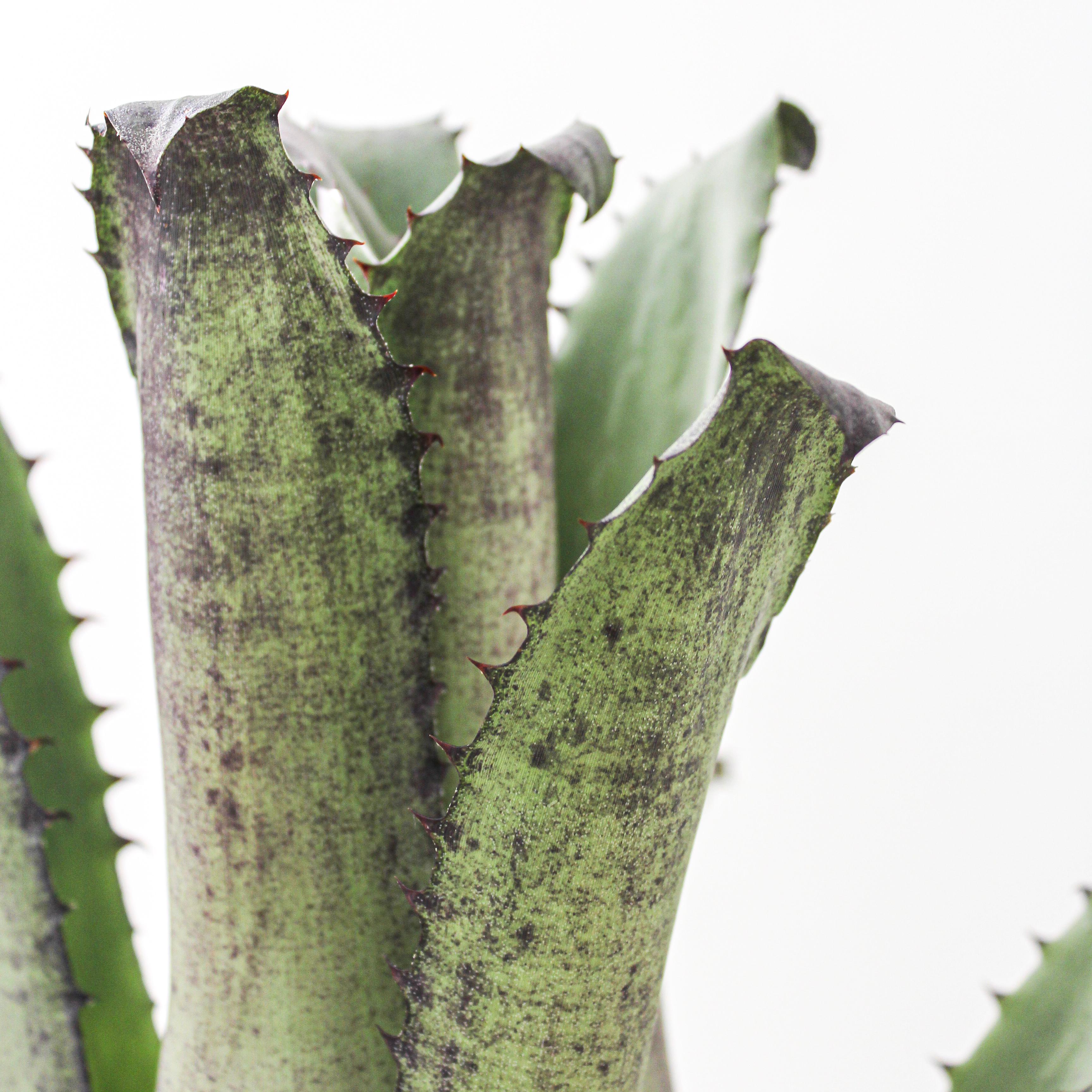 """Hohenbergia Edmundoi  (1G / 8"""")"""