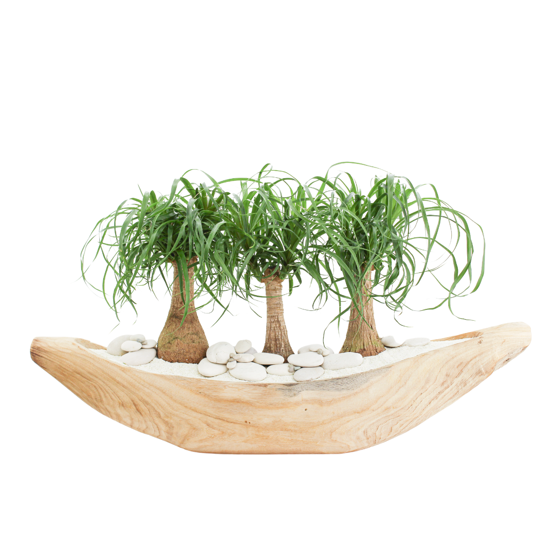 """Natural Wood Boat - Ponytail Palms (24"""" H x 35.5"""" W)"""