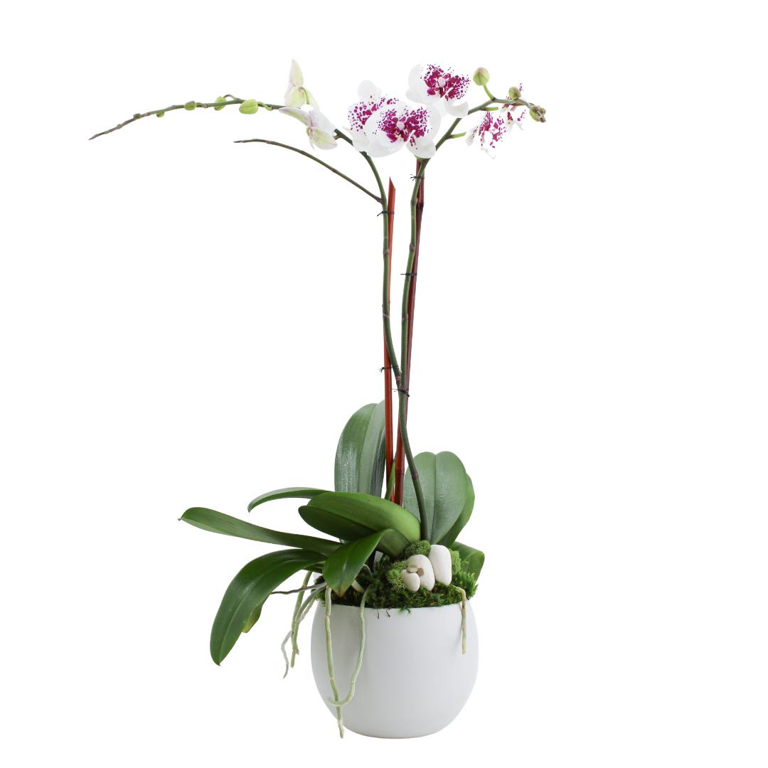 "Oslo Medium - Double Phalaenopsis Orchid (7""D x 26.5"" H)"
