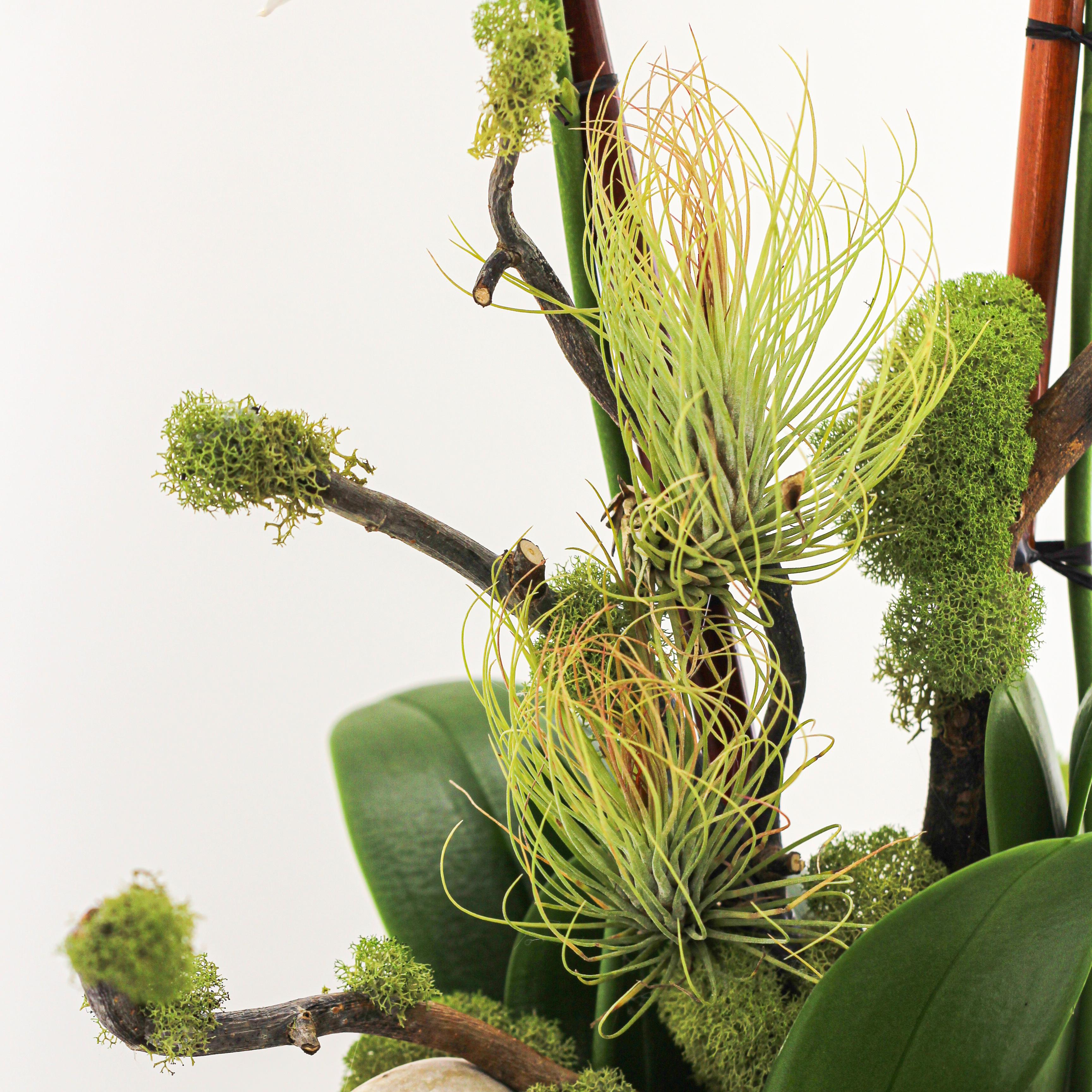 """Phoenix - Triple Mini Orchids (12""""D x 19.5""""H)"""