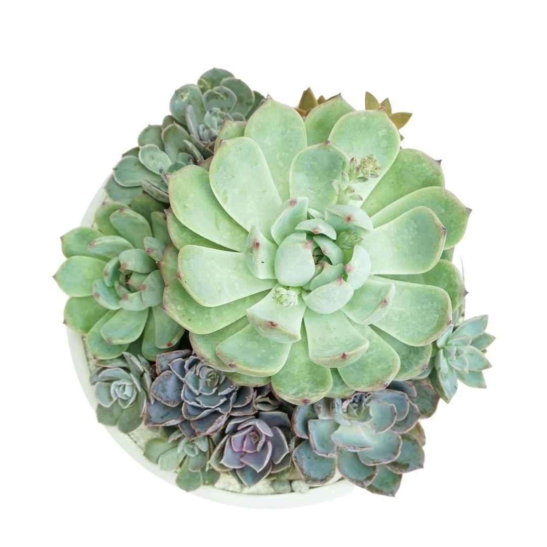 "Sydney Small- Succulents (8.5"" D x 7"" H)"