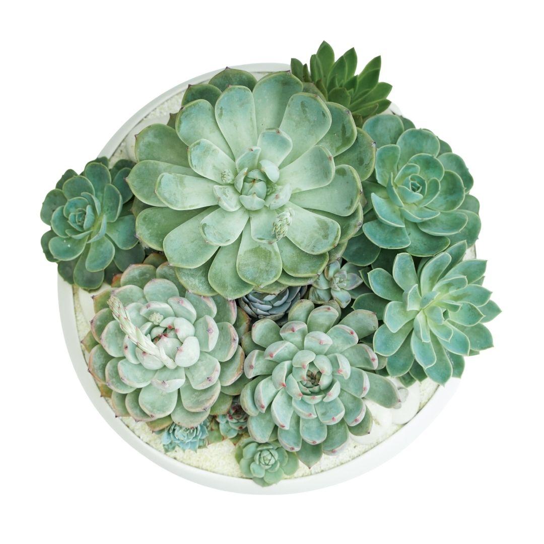 "Sydney Medium- Succulents (13"" D x 8.5"" H)"