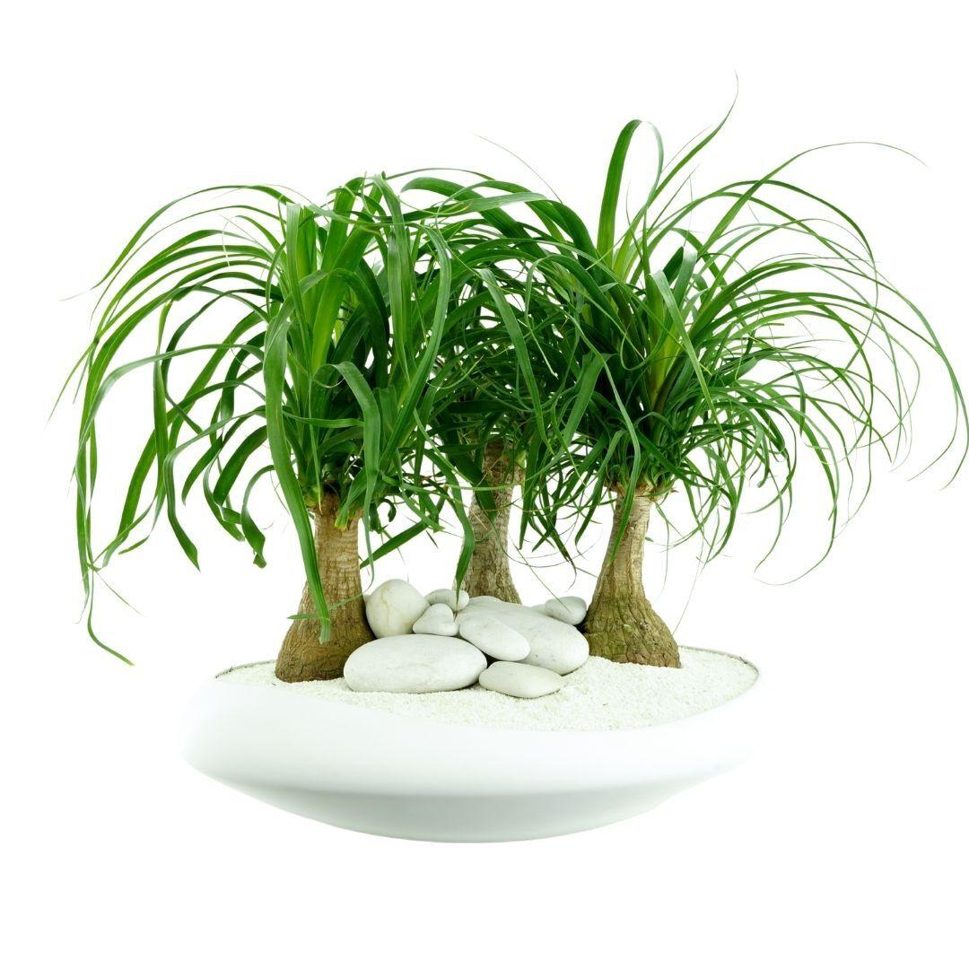 """Sydney Large - Ponytail Palms (16.5"""" D x 10.5"""" H)"""