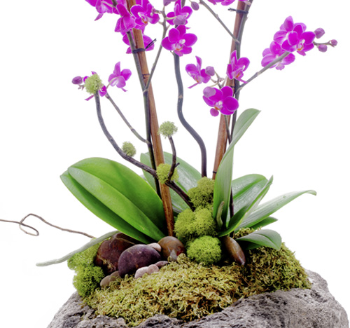 Feather Rock - Mini Phalaenopsis Orchid - CUSTOM ORDER ONLY