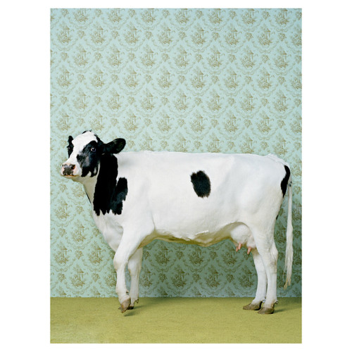Posh Holstein Canvas Art