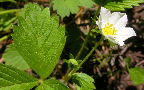 By Matt Lavin from Bozeman, Montana, USA - Fragaria vescaUploaded by Tim1357, CC BY-SA 2.0 https://commons.wikimedia.org/w/index.php?curid=22758399